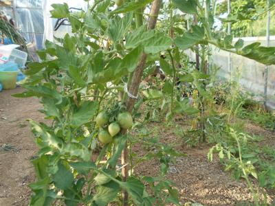 010530ハウスのトマト2