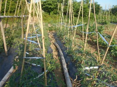 010601露路のトマト