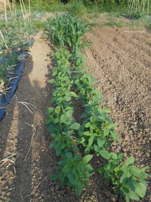 010530枝豆とトウモロコシ