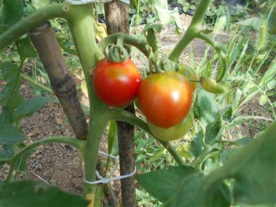010616トマトが色付いた