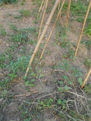010619わき芽を植えたトマト