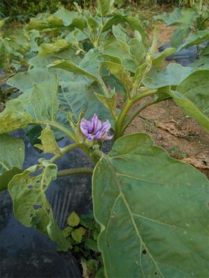 010619緑なすの花