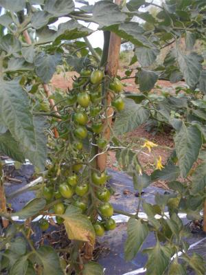 010619露地のトマト