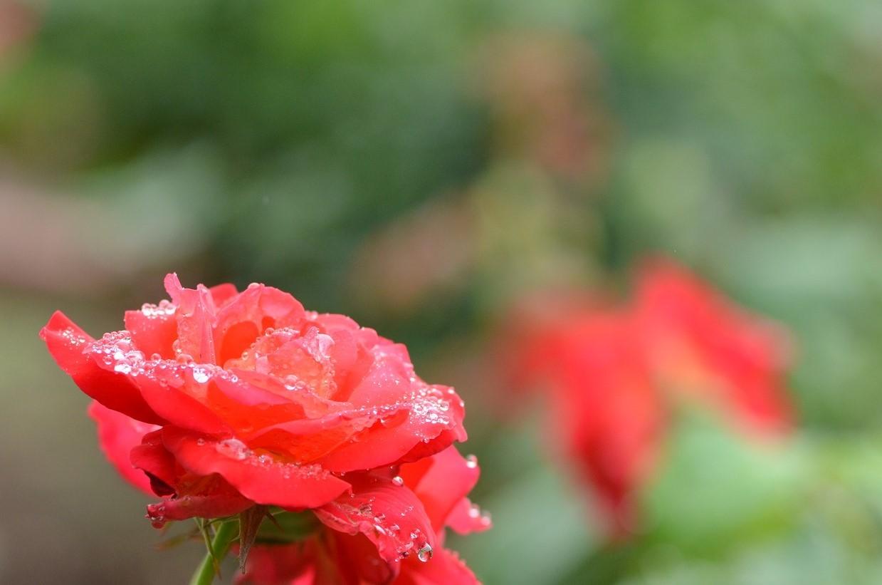 DSC_0489雨の赤い薔薇 (2)