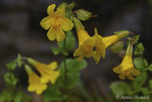 Mimulus by Armin