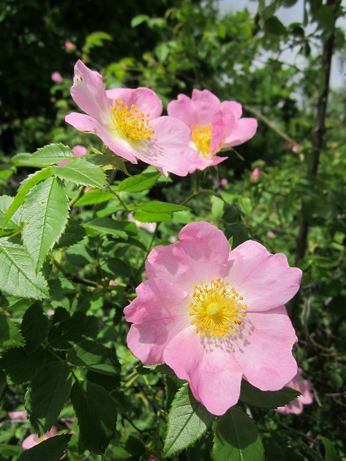 wild rose_s