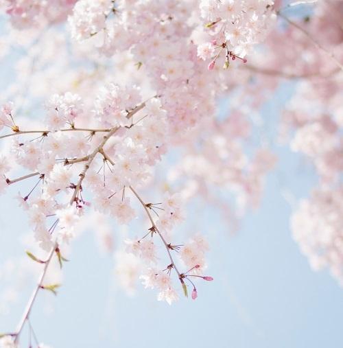 blue-sakura-500x.jpg