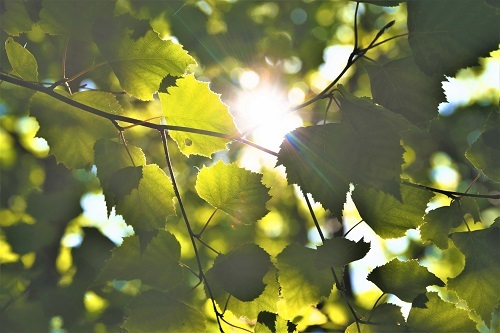 leaves-sunlight-500x.jpg