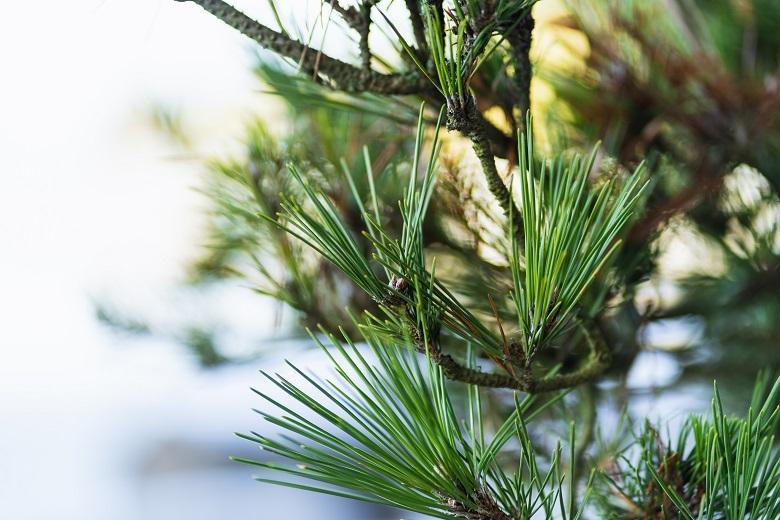 pine-leaves-780x.jpg