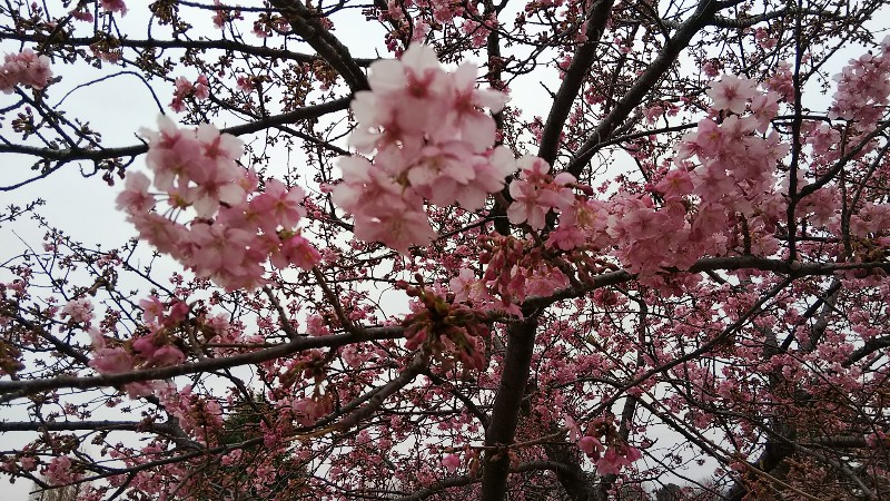 伊勢崎市民のもり公園河津桜(アップ)20190303