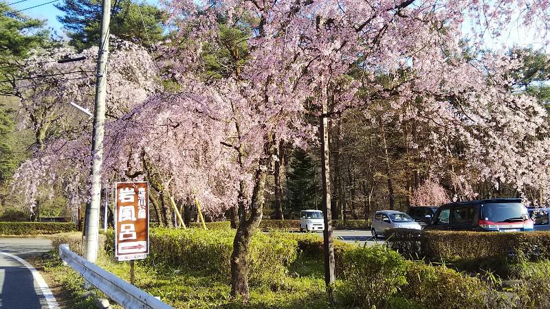 しだれ桜駐車場201904