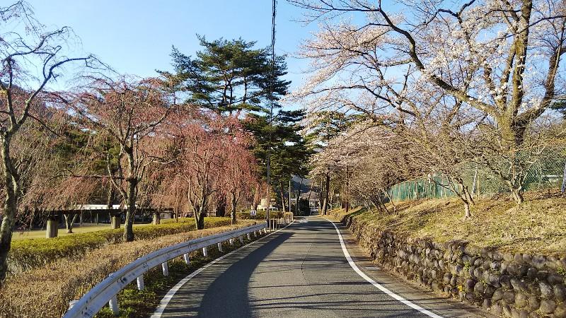 ソメイヨシノしだれ桜201904