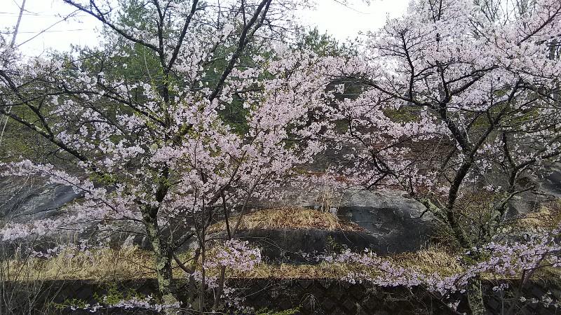 道の駅みとみ桜201904