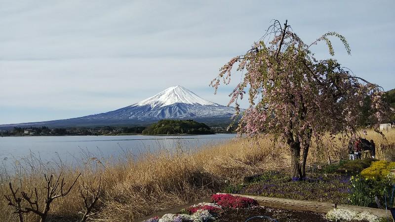 しだれ桜・富士山201904