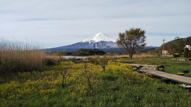 菜の花と富士山201904