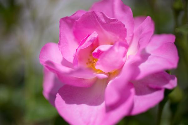 rose20190511-2418.jpg