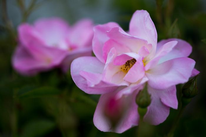 rose20190514-2780.jpg