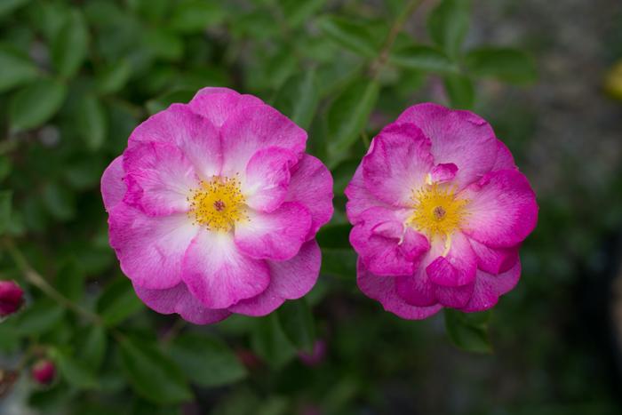 rose20190531-3023.jpg