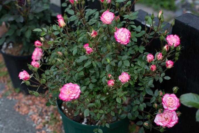 rose20190614-3423.jpg
