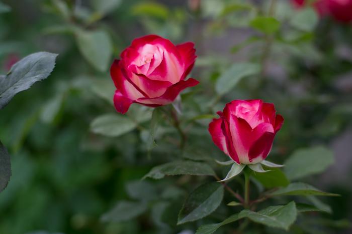rose20190614-3470.jpg