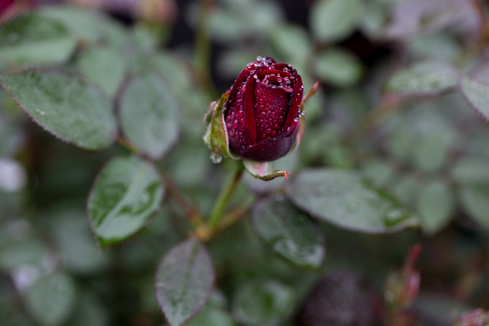 rose20190615-3492.jpg