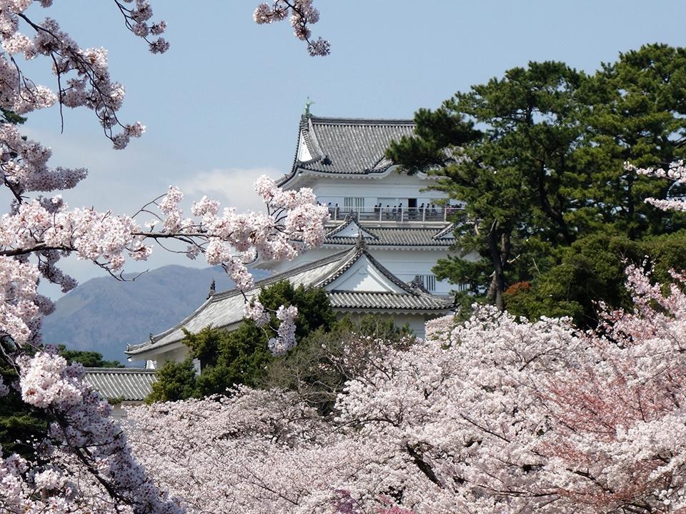 sakura_and_odawara-castle.jpg