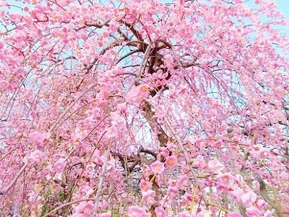 華やかなピンクの枝垂れ梅