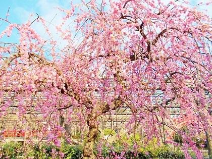 美しいピンクの枝垂れ梅 亀戸天神