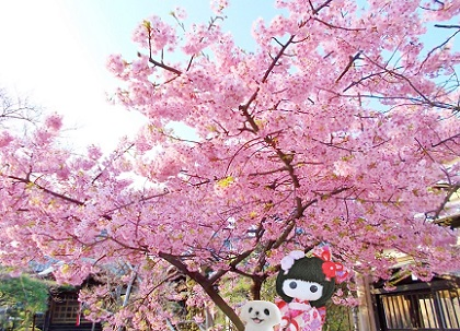 河津桜も満開でした