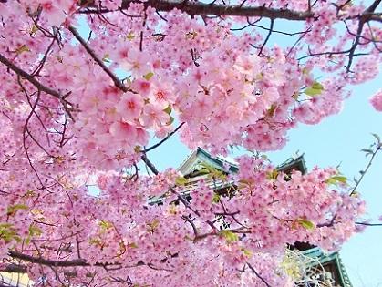 可愛いピンクの河津桜さん