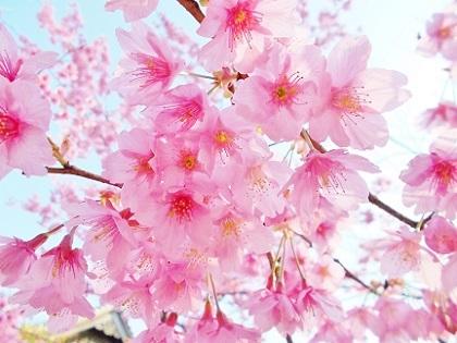 寒緋桜アップです