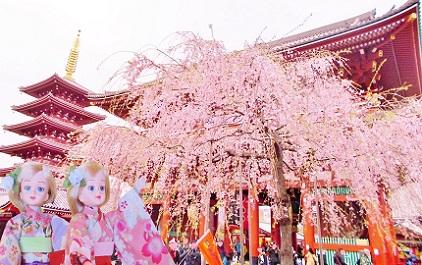 浅草寺 しだれ桜