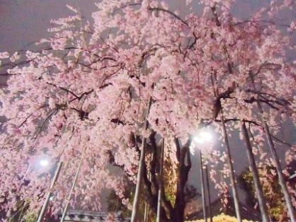 浅草寺 夜のしだれ桜2