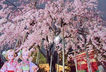 浅草寺 夜のしだれ桜1