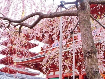 浅草寺のしだれ桜4