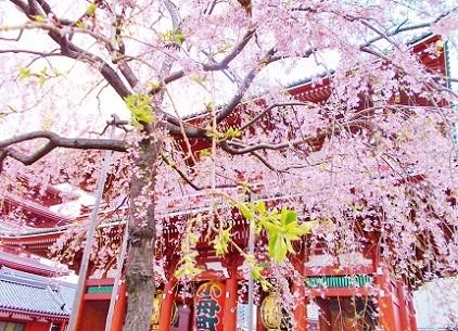 浅草寺のしだれ桜3