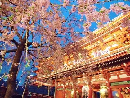 浅草寺 夜桜6