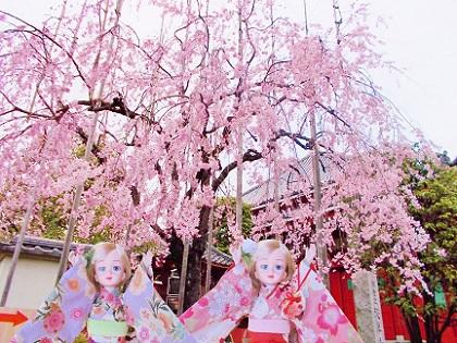 浅草寺のしだれ桜5