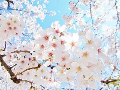 お寺の桜2