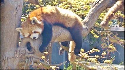 木の上のレッサーパンダちゃん
