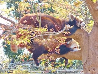 木の上で眠るレッサーパンダ姉妹