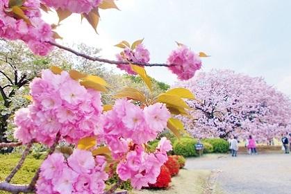 あちらにも美しい八重桜が