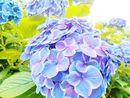 紫陽花 浅草1