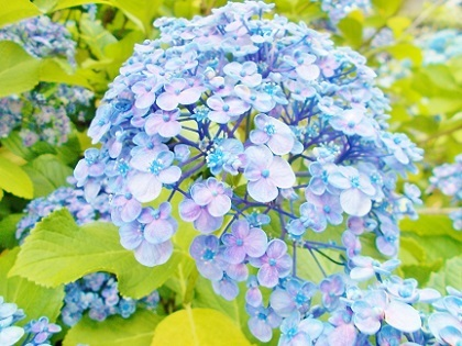 紫陽花 浅草2