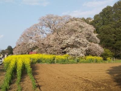 1904吉高桜