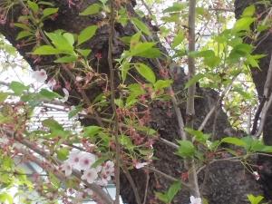 190417桜蘂