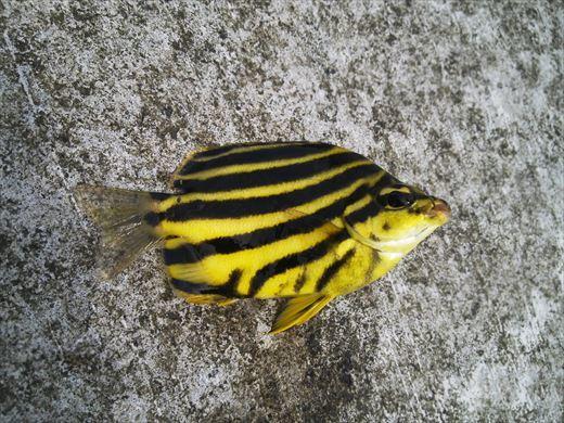 神津島港で釣り (3)