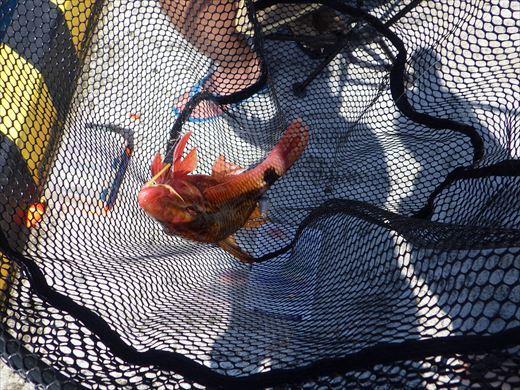 神津島港で釣り (11)