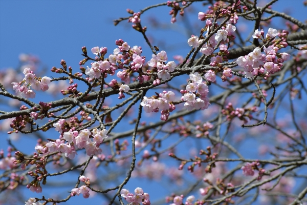 早咲きの桜20190310