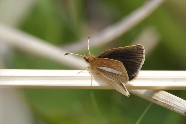 ギンイチモンジセセリ♂20190421